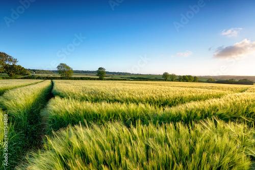 Tableau sur Toile Cornish Barley Field