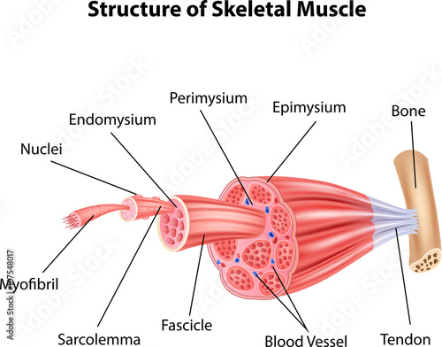 Canvas Print Illustration of Structure Skeletal Muscle Anatomy