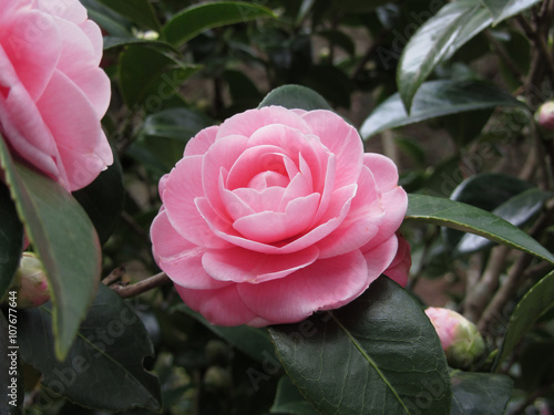 Carta da parati Ancient japanese cultivar of pink Camellia japonica flower known as Otome Tsubak