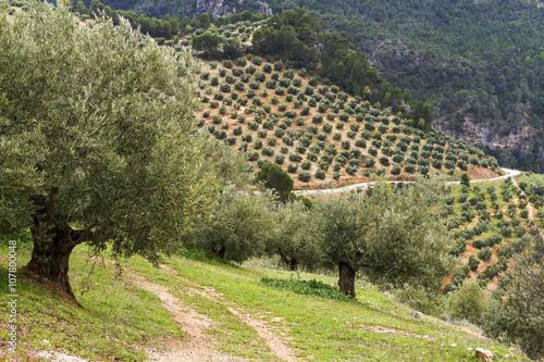 Olivos en Jaén. Andalucia