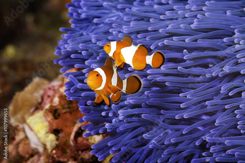 Fényképezés Two Ocellaris clownfish (Amphiprion ocellaris) anda blue sea anemone