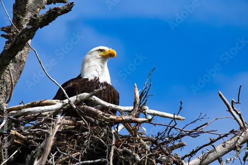 Obraz na płótnie Bald Eagle in it's Nest homer spit alaska