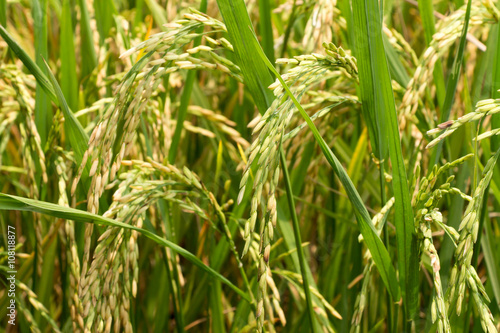 Photo ear of paddy in rice field