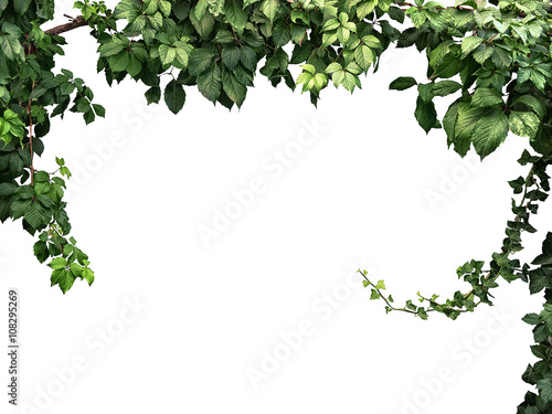 Stampa su Tela frame of the climbing plant isolated on white background