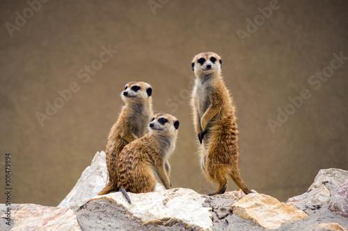 Photo Meerkats watching