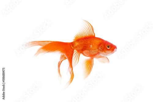 Obraz na plátně Beautiful goldfish swimming