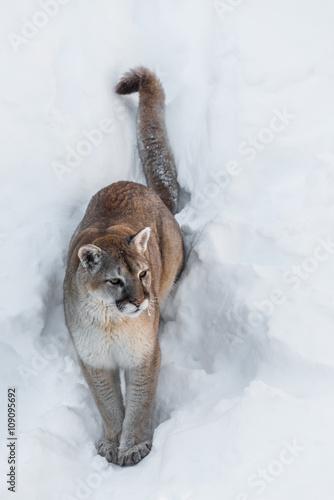 puma assis dans la neige