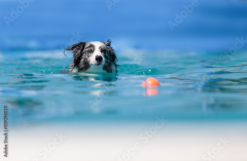 Valokuvatapetti Australian border collie swims with a toy in a pool in summer.