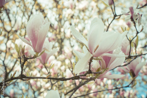 Vintage photo, Blooming colorful magnolia flowers in sunny garden or park, springtime