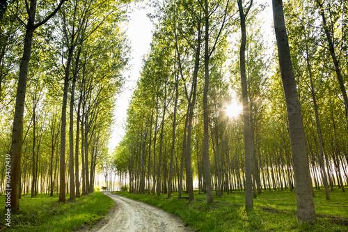 Obraz na plátně dirt road through poplar trees
