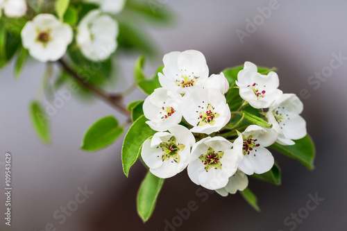 Branch of pear blossom with white flowers. Blooming pear flowers