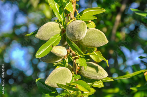 Almond tree branch with green nuts and leaves. Fotobehang