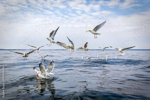 Hungry seagull birds