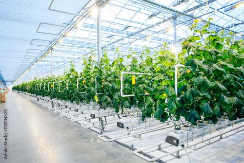 Green crop in modern greenhouse Fototapet