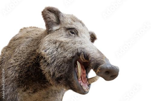 Stampa su Tela a stuffed boar head
