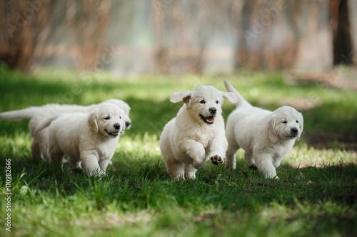 Wallpaper Mural Little puppys Golden retriever