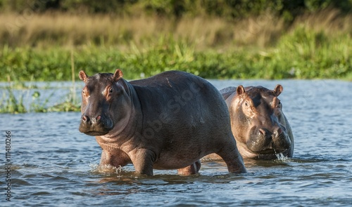 Fotografia, Obraz Hippopotamus in the water
