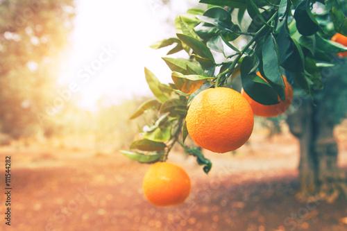Obraz na plátne Orange tree