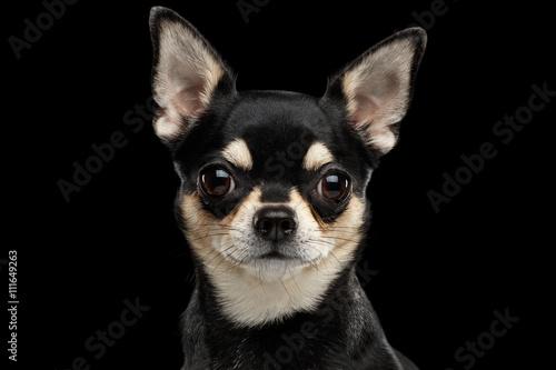 Fotografie, Obraz Detailním portrét Nádherná Chihuahua pes se dívá do kamery na černém pozadí izol