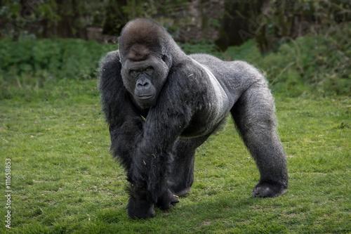 Fotografia Srebny plecy goryla pozycja i patrzeć ostrzeżenie i groźny przeciw naturalnemu t