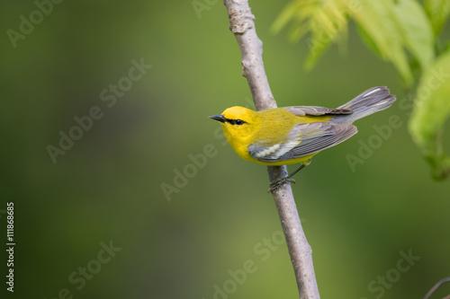 Fototapeta Blue-winged Warbler