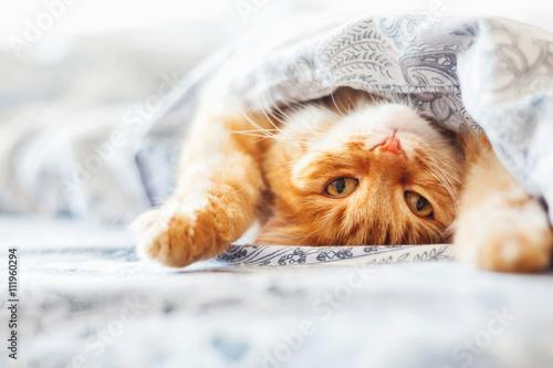 Slika na platnu Cute ginger cat lying in bed under a blanket