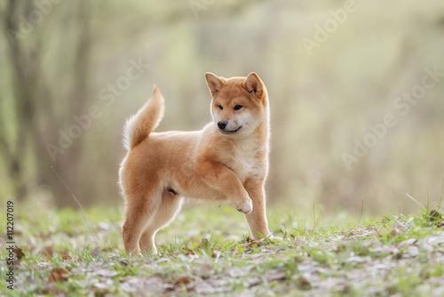 Photographie Beautiful Young Red Shiba Inu Puppy Dog