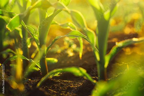 Fotografia Corn crops in sunset
