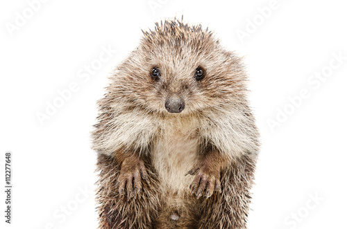 Fotografiet Portrait of a funny hedgehog standing on his hind legs