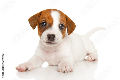 Fotografia Jack Russell terrier puppy on white