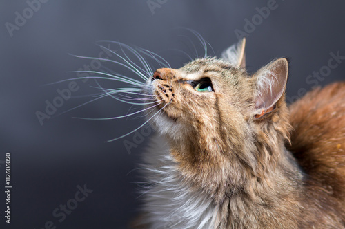 Canvas Print portrait of a beautiful cat