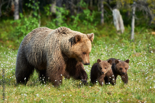 Fototapeta Mother brown bear and her cubs