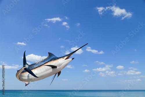 Marlin - Swordfish,Sailfish saltwater fish (Istiophorus) isolate Fototapeta