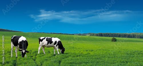 Fotografia Farm cows grazing in a summer meadow.