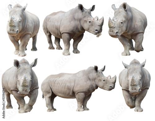 Fototapeta premium nosorożec biały, nosorożec kwadratowy na białym tle