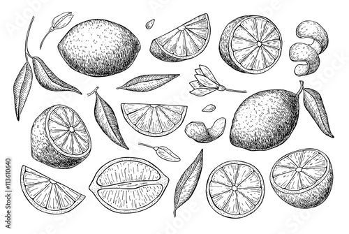 Obraz na plátně Vector hand drawn lime or lemon set.