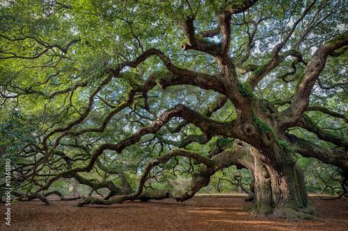 Fototapeta premium Duży południowy dąb żywy (Quercus virginiana) w pobliżu Charleston, Karolina Południowa