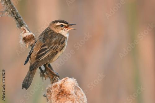 Obraz na plátně Sedge Warbler (Acrocephalus schoenobaenus)