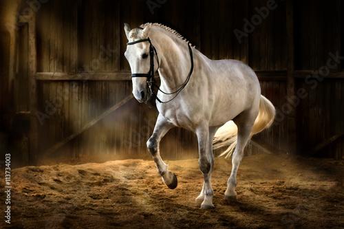 Fototapeta premium Biały koń robi piaff ujeżdżeniowy w ciemnej ujeżdżalni z pyłem piasku