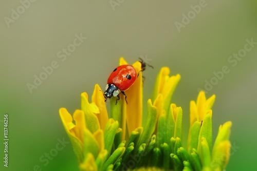 Biedronka dwukropka na płatkach żółtego kwiatka