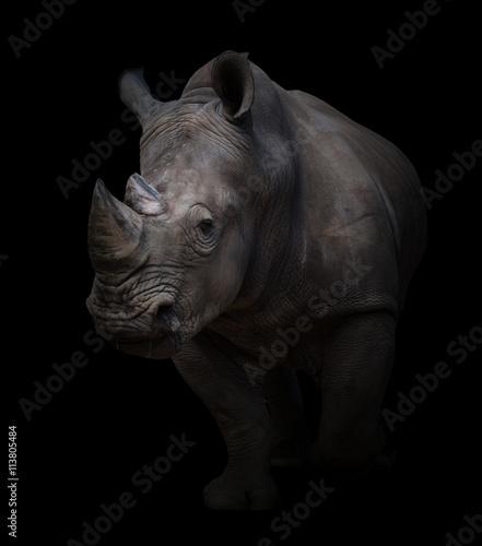 Fototapeta premium białe nosorożce w ciemnym tle