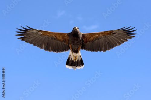 Canvas Print Harris Hawk in flight