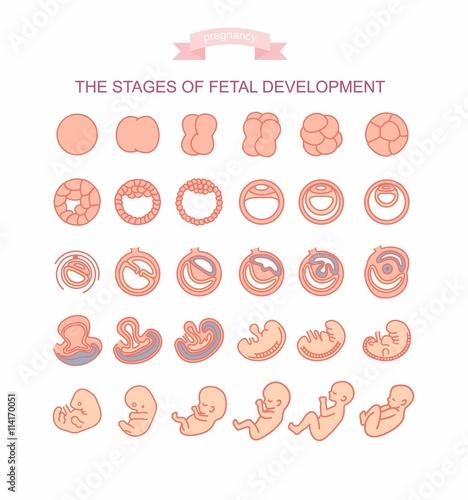 Obraz na plátne vector illustration stages of fetal development
