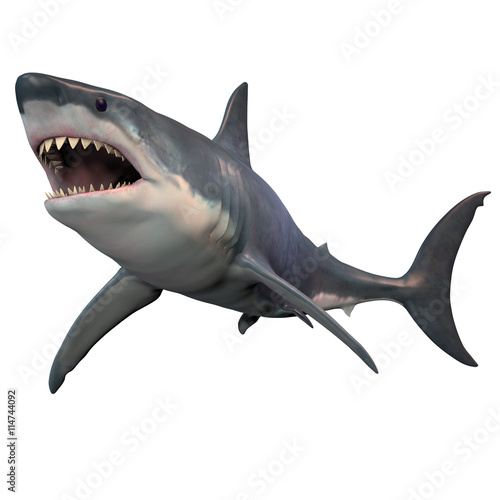 Fototapeta Great White Shark Isolated -The Great White shark can grow over 8 meters or 26 feet and live to 70 years of age