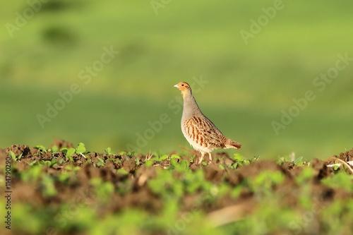 Fototapeta grey partridge on agricultural field