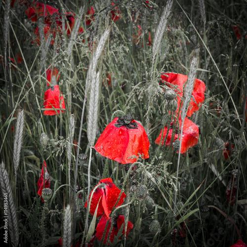 Folia na okno łazienkowe Rosa pokryła ciemnoczerwone maki w polu