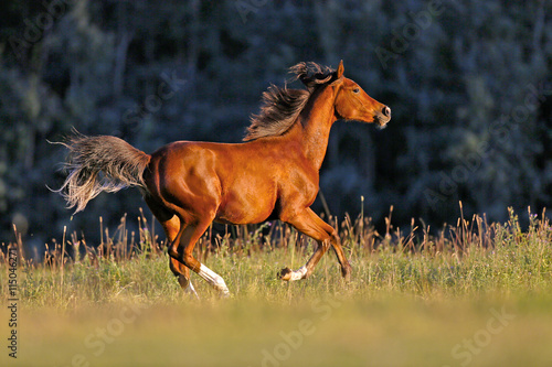 Young Bay Arabian Horse galloping over meadow in late afternoon sunlight