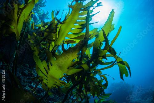 Fototapeta Green Seaweed dancing in the sea