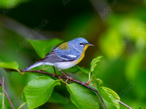 Fotografie, Obraz A small warbler of the upper canopy, the Northern Parula can be found in boreal forests of Quebec