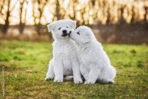 Carta da parati Two funny white swiss shepherd puppies playing